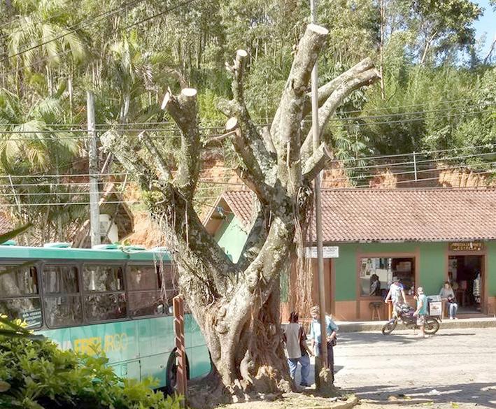 Árvore centenária fica no Largo da Estrela, em São Pedra da Serra (Foto: Leitor Via WhatsApp)