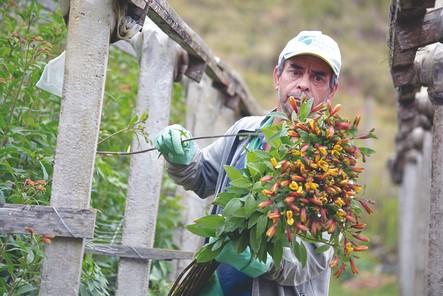 Produtor de flores em Vargem Alta (Foto: Henrique Pinheiro)