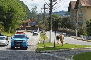 Cavalos pastam num canteiro no Cônego: perigo (Fotos: Henrique Pinheiro)