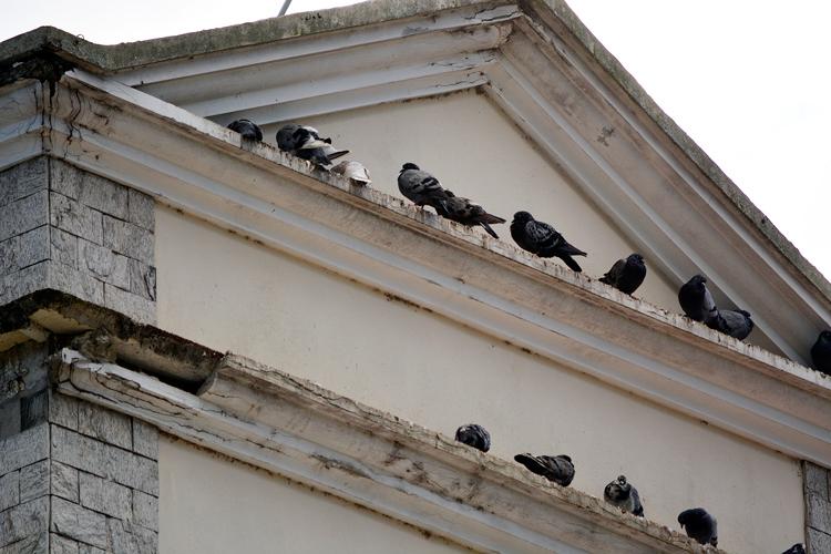 Os pombos que vêm causando problemas na escola (Fotos: Henrique Pinheiro)