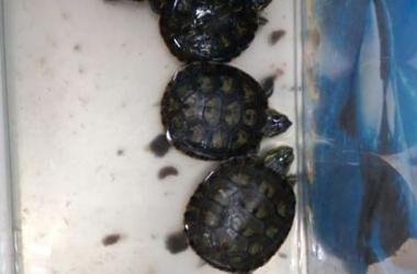 As tartarugas apreendidas (Foto: 151ª DP)