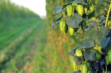 O lúpulo é o ingrediente que dá sabor e ajuda a conservar a cerveja (Reprodução da web)