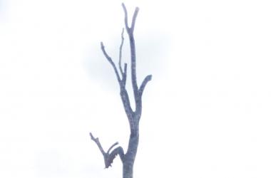 A peroba-rosa depois da poda (Fotos de leitor)